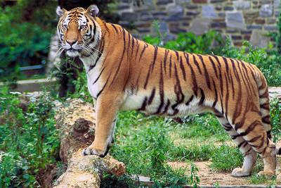 800pxpanthera_tigris_tigris